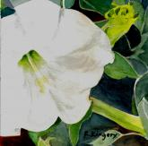 Datura Blossom and Bud by Ralph Kingery