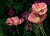Icelandic Poppies by Vykki Mende Gray