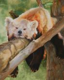 RDP (Red Panda Dozing) by Marcella Martin